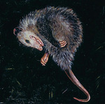 Bestiary: Possum by Elli Crocker Ms.